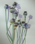 Poppie Seedheads  -  Watercolour