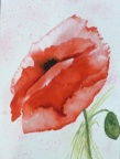 Poppie 2  -  Watercolour